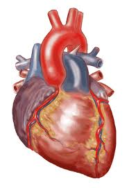Why You Can't Get Heart Cancer